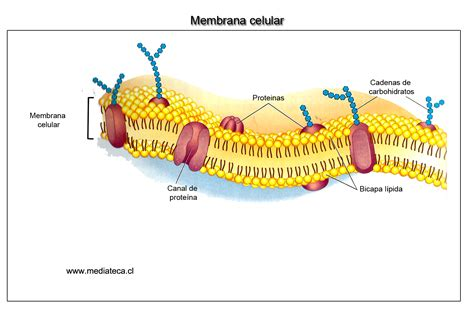 partes de la membrana celular la c 201 lula animal thinglink