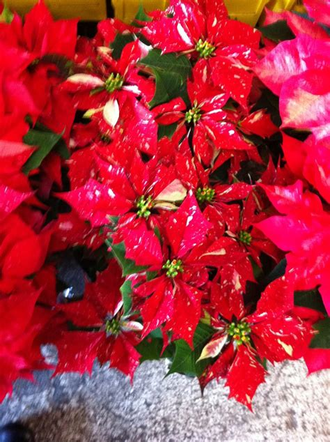 the poinsettia decorating with the flowers of christmas it comes in many colors 171 what would