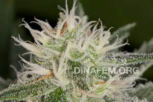 Most potent marijuana strain in the world quotes