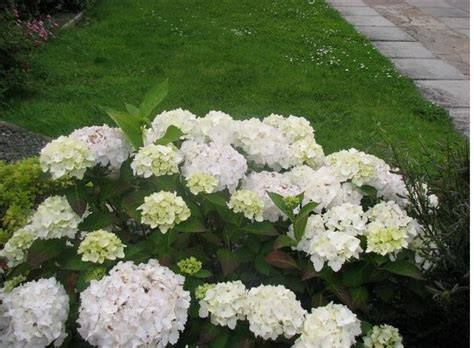 White Garden Flowers White Garden Hydrangea Flower Jpg