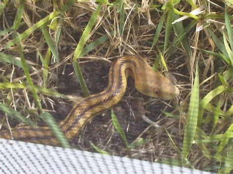 Snake In The Backyard What To Do by Snakes Page 6 Talk Of The Villages