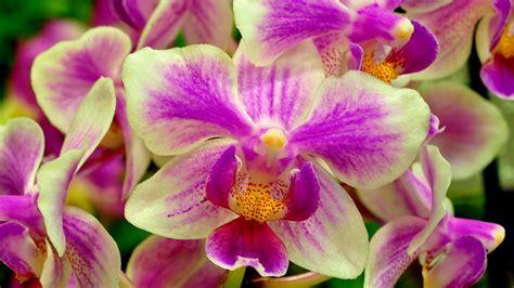 bunga orkid kertas dinding