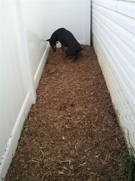 dog poop backyard save your lawn from dog feces and urination potty area