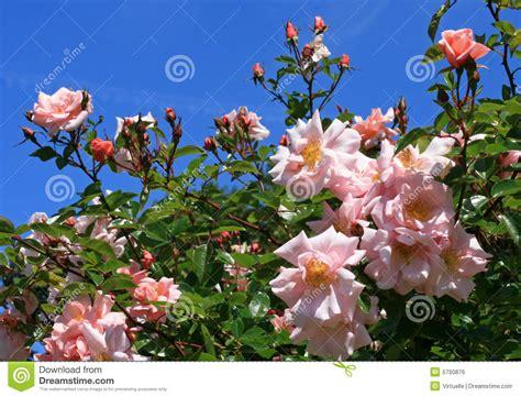 4 flores azules para jard rosas rosadas en un jard 237 n contra un cielo azul foto de