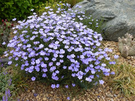 Garden Of Flaxseed Summertime Blues Narbonne Blue Flax Plant Select