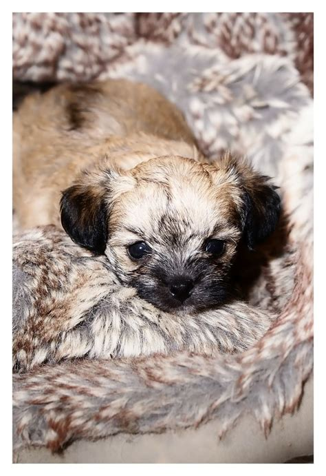yorkie poo puppies for sale in kent free teacup yorkie puppies for adoption