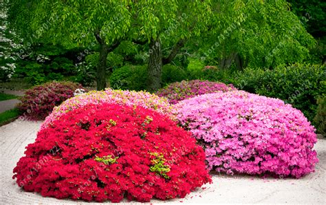 online buy wholesale rhododendron tree from china