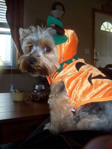 teacup yorkie costumes 1000 images about yorkies in costumes on