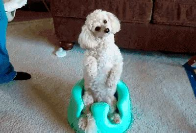 poodle funny dog gif find & share on giphy