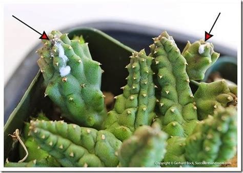 bug resistant cactus plants 25 best ideas about bane of my on gloria leonard and