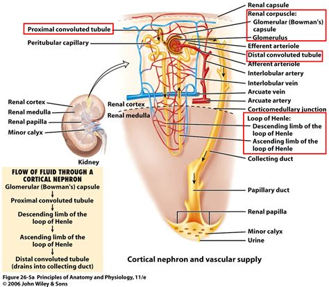 which section of the nephron filters blood plasma urinary fluid balance biology 152 with ss at