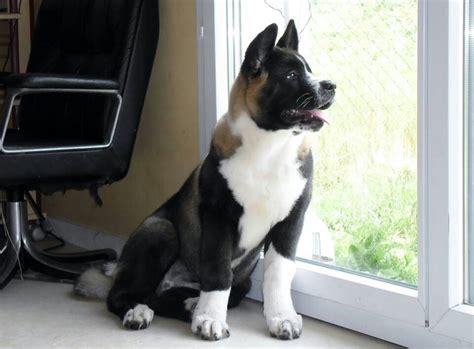 akita pug mix 1000 ideas about pug corgi mix on pug puppies terriers and small house