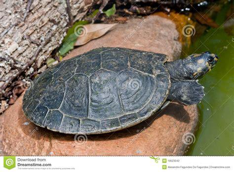 Sleepy Turtle sleepy turtle stock photography image 18523042