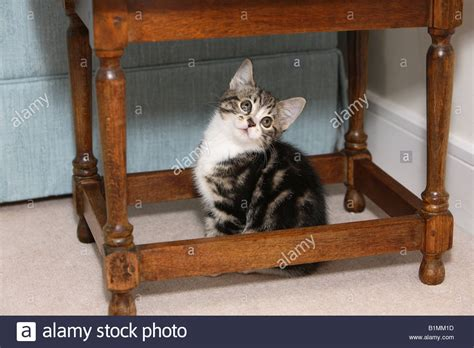 cat table kitten table stock photo royalty free image