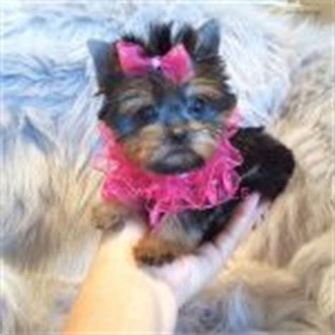teacup yorkie for sale in ri teacup yorkie for sale yorkie breeder yorkie for sale micro yorkie