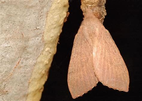 gumtree snout moth  entometa apicalis