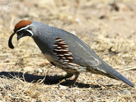 gambel s quail 3d 174 pet products3d 174 pet products