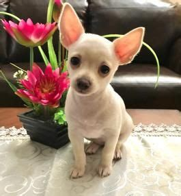 chihuahua puppies for sale in pa best 20 chihuahua puppies for sale ideas on