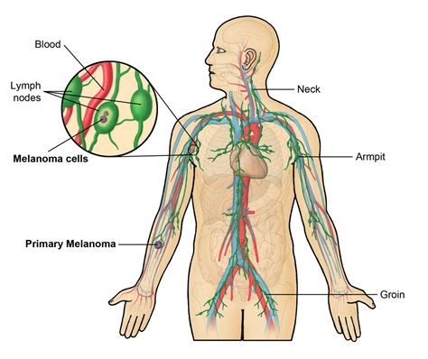 diagram of human neck anatomy glands human anatomy diagram