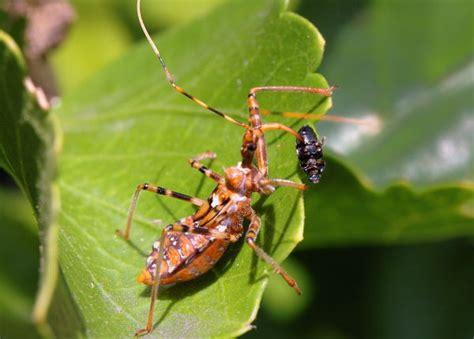 Common Backyard Bugs by Common Assassin Bug Pristhesancus Plagipennis