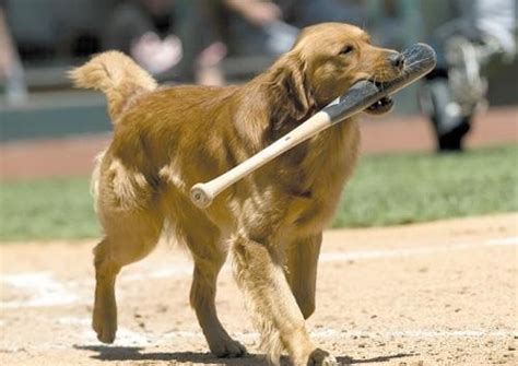 golden retriever baseball 17 pups who are stoked about the ultimate of fetch baseball