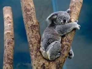 koala schlaf warum schlafen koalas so viel hallimasch mollymauk