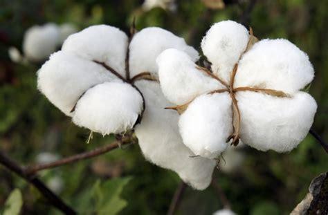läufer baumwolle entrevue entre erik orsenna le coton et moi