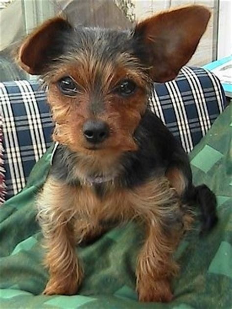 yorkie and dotson mix dorkie breed pictures 1