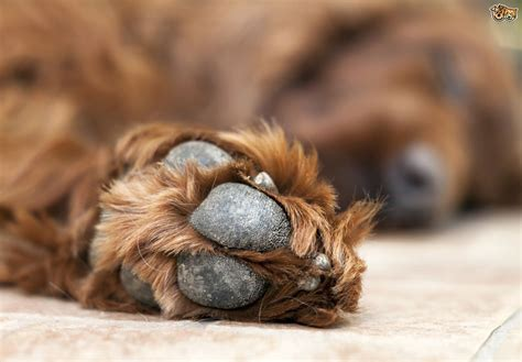 hyperkeratosis paw hyperkeratosis in dogs pets4homes