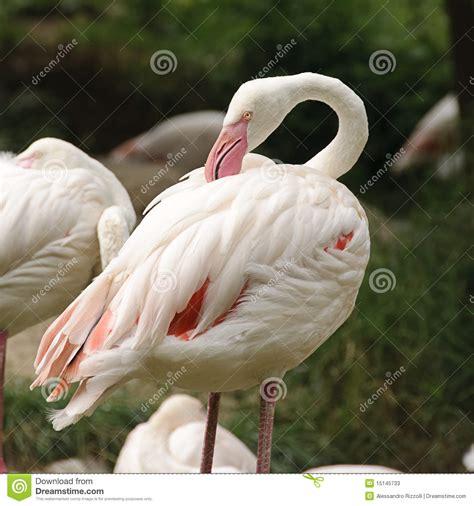 white flamingo white flamingo stock photos image 15145733