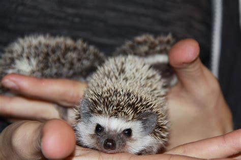 hedgehog for sale pin hedgehog pets for sale on pinterest