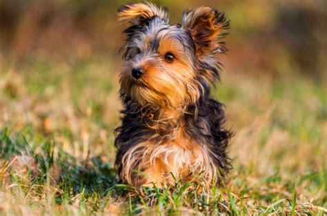 brown teacup yorkie teacup yorkie pictures guides and facts about this small breed
