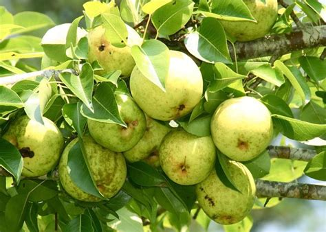 Spray Fruit Trees Spring - pear trees