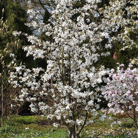 sternmagnolie kaufen naturagart shop gro 223 e magnolie kaufen
