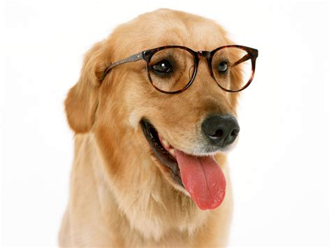 puppy with glasses 20 dogs with glasses amazing creatures