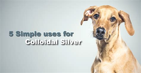colloidal silver for dogs five immune boosting uses of colloidal silver dogs naturally magazine