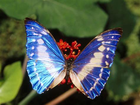 wallpaper of blue butterfly butterflies images beautiful blue butterflies hd wallpaper