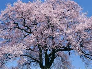 wallpapers cherry tree
