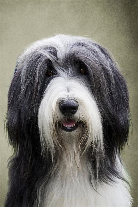 bearded collie puppy bearded collie photograph by ethiriel photography