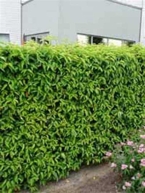 portugiesischer kirschlorbeer prunus lusitanica angustifolia portugiesischer