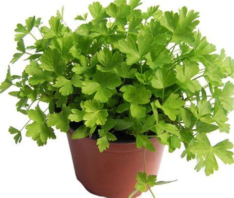 Benih Bibit Herbs Parsley Maica Leaf T1910 daun parsley flat