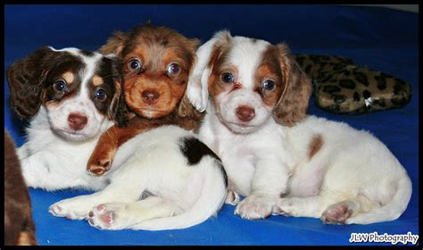 dachshund puppies for sale florida teacup dachshund puppies for sale in florida photo