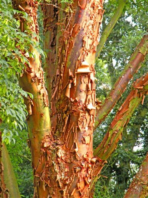 Trees That Shed Their Bark by Treeaware Bark Shedding Trees Plane Trees