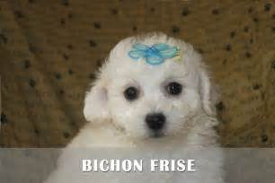 Bichon frise puppies for sale in pa bichon puppies for sale in pa