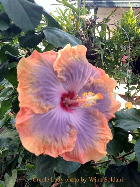 which state has a hibiscus 100 which state has a hibiscus top 25 most