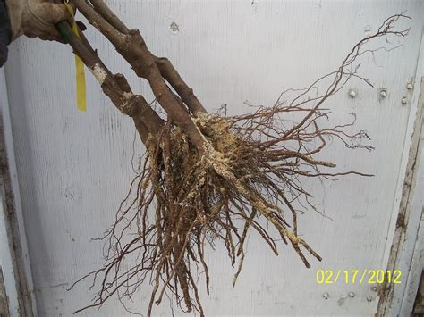 rooting fruit trees trees that nursery tis the season for bare root