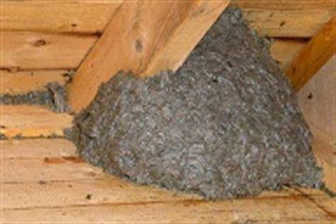 hornissennest im haus hornissen im garten darf hornissennest entfernen