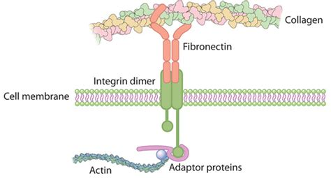 cytoskeleton  cell membrane physiology leaders
