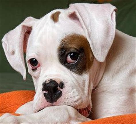 white boxer puppies for sale boxer puppy boxer puppies pictures boxers