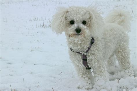 Does A Bichon Frise Shed by Top 11 Breeds That Don T Shed Insider Monkey